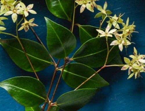 Lemon Myrtle an aromatic Australian bush tucker herb