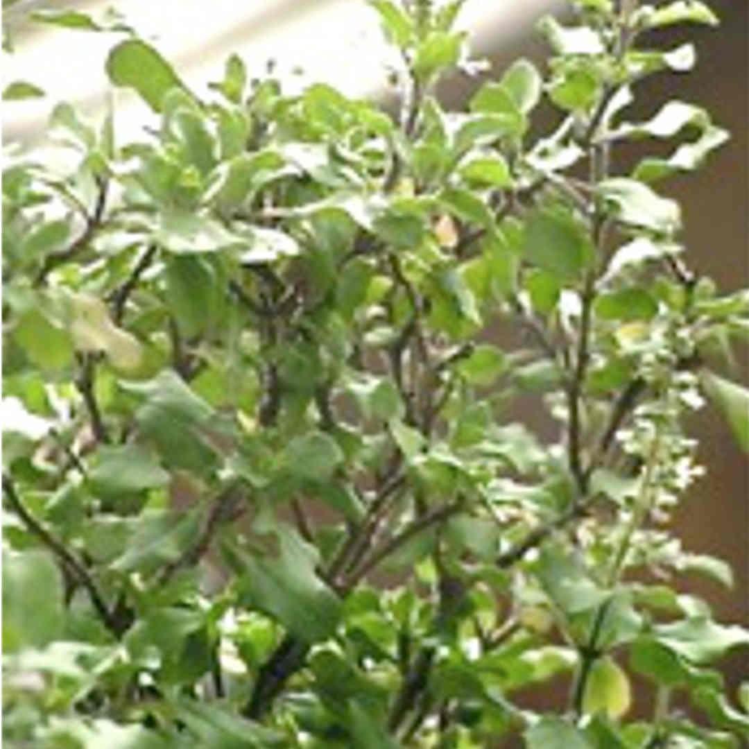 Seeds - Native Thyme (Ocimum tenuiflorum)
