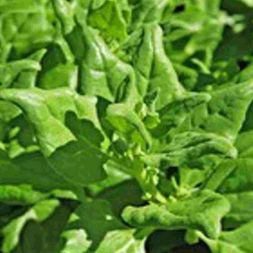Seeds - Warrigal Greens