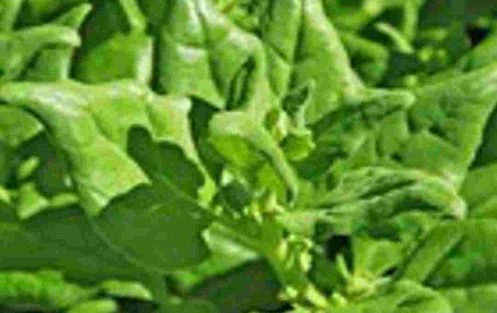 Seeds - Warrigal Greens
