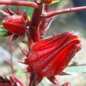 Seeds - Rosella (Hibiscus sabdariffa)