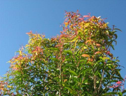 Anise (Aniseed) Myrtle Syzygium anisatum