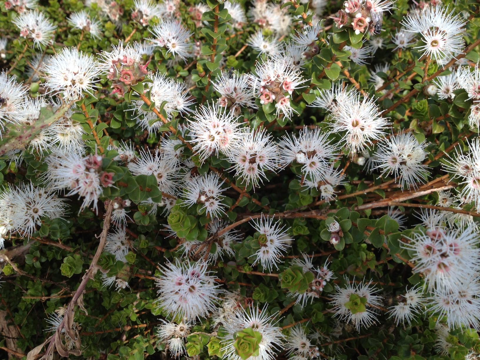 muntries flowers blooming, beautiful Australian native edible fruit